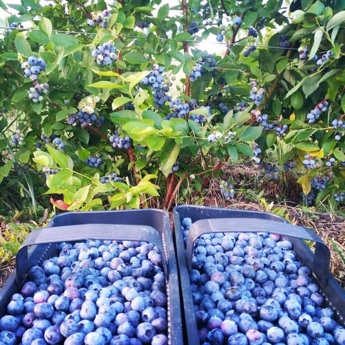Freshly harvested blueberries from the Ekosad plantation